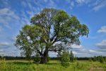 С вяз – фото дерева и листьев, описание мелколистного, шершавого, гладкого, перистоветвистого каргача, семена и плоды обыкновенного вяза