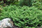 Можжевельник казацкий корневая система – особенности размножения корневой системы, посадки и описание растения