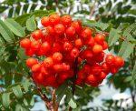 Рябина уход – Рябина обыкновенная: выращивание, уход, сорта