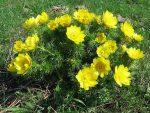 Трава адонис – Адонис весенний: лечебные свойства, рецепты