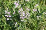 Блошника трава применение – лекарственное растение, применение, отзывы, полезные свойства, противопоказания