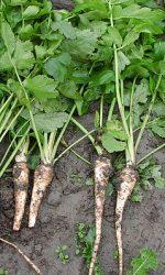 Пастернак растение википедия – Пастернак (растение) — Википедия