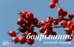 Применение ягоды боярышника – полезные и лечебные свойства ягод, его противопоказания, польза и вред, инструкция по применению, как заваривать