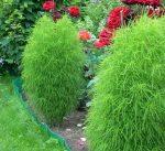 Растение кохия – фото, виды и способы выращивания