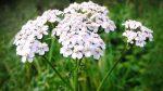 Тысячелистник белый и розовый лечебные свойства – Лечебные свойства тысячелистника