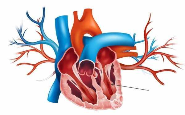 Анатомия сердца: Правый желудочек. Левый желудочек
